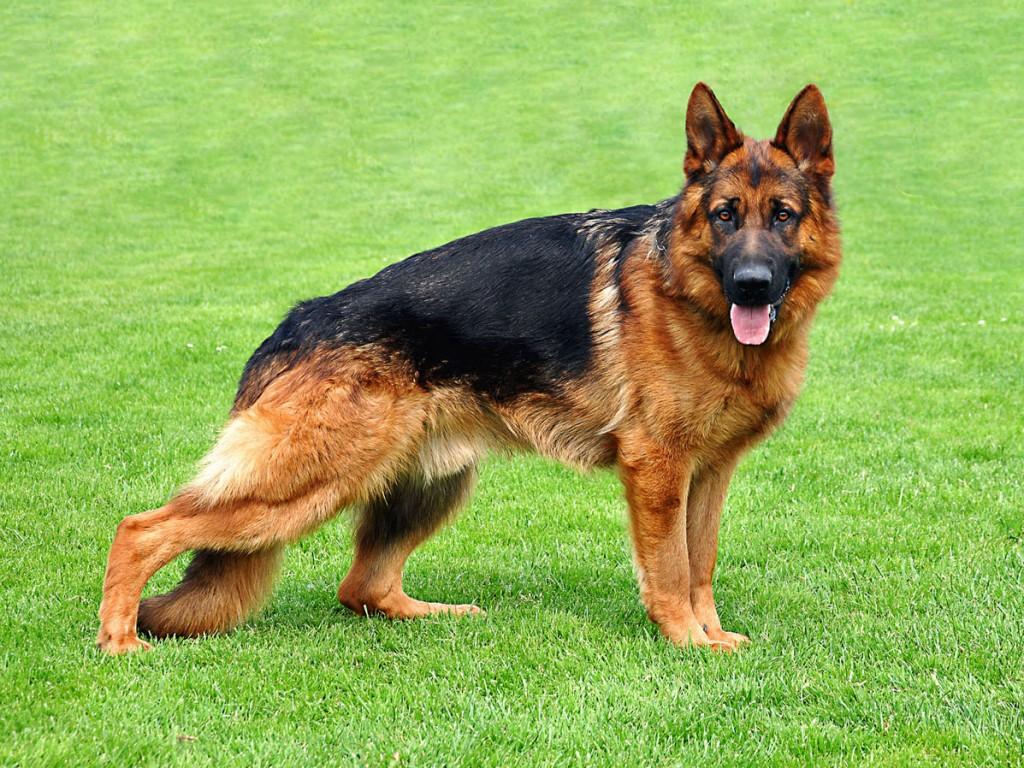 German Shepherd - germanshepherdinformation.org